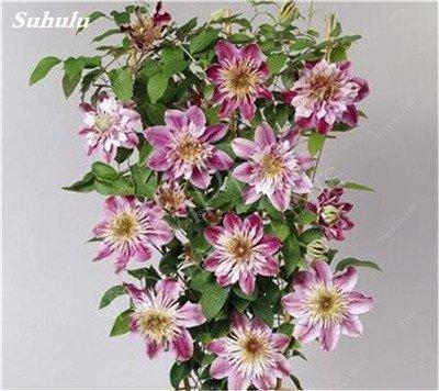 100 Pcs Clematis Graines de plantes Belle Paillage Graines de fleurs Bonsai ou un pot de fleurs vivaces pour jardin Mix Couleurs 3