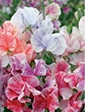 JustSeed - Blume - Duftende Platterbse - Himmels Duft...