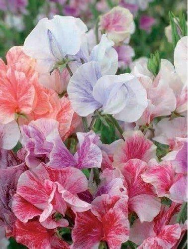JustSeed - Blume - Duftende Platterbse - Himmels Duft Gemischt - 200 Samen