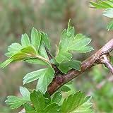 Crataegus monogyna - Espino blanco - Spg - Semillas