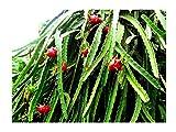 Drachenfrucht Pitaya Hylocereus monacanthus Pflanze 10cm Kaktus essbare Früchte