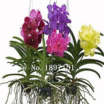 Vente Bonsai orchidée