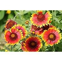 Kokardenblume 30 Samen