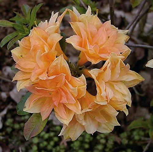 Azalee Csardas 40-50cm – Rhododendron luteum – Alpenrose