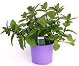 Spearmint Minze, frische Minze Pflanze aus der Gärtnerei Enseleit