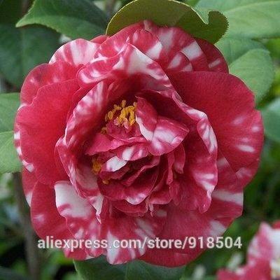 50 pièces / sac, graines de camélia, fleurs Camellia graines 24kinds couleur pour choisir Violet