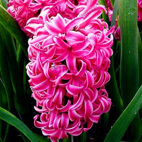 Nouvelle grande vente 105pcs / sac jacinthe comme, vivace jacinthe Flores mis en pot, fleur Bonsai en Maison et jardin Rose (SEEDS SEULEMENT)
