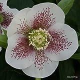 Christrose, Helleborus x orientalis 'White Spotted Lady'