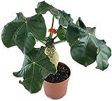 Jatropha podagrica - wunderschöne Flaschenpflanze mit gut entwickelten Caudex -...