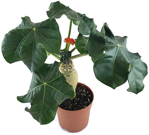 Jatropha podagrica - wunderschöne Flaschenpflanze mit gut entwickelten Caudex - exotische Zimmerpflanze