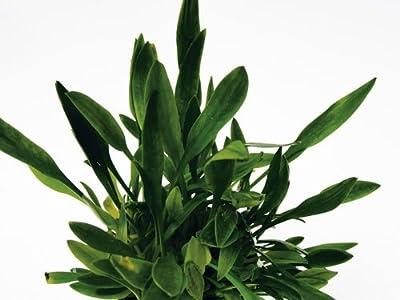 1 Topf Cryptocoryne parva, Wasserpflanzen von 326 - Du und dein Garten