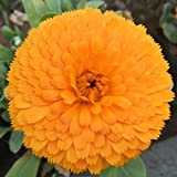 Calendula Winter Flower Seeds , Sold By Variety House
