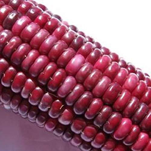 AIMADO Samenhaus-Bio 10 Stück Zuckermais Samen Kollektion Extra süßer Geschmack Gemüse Saatgut Maissamen, Pflegeaufwand gering