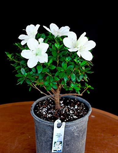 Bio-Saatgut Nicht nur Pflanzen: Japanische satsu AZEA - Hakata Jiro 6