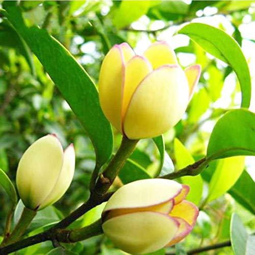 Immergrün Üppige weiße Blüten
