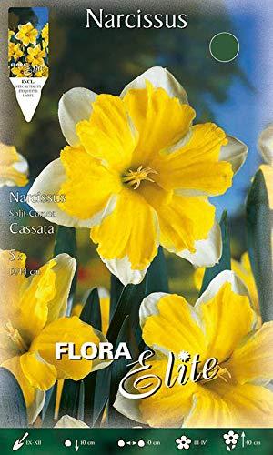Split-Corona Narzisse \'Cassata\' weiß/Zitronengelb, Blumenzwiebeln für Herbstpflanzung