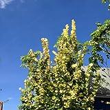 Goldulme 'Wredei' - Ulmus carpinifolia 'Wredei' - Schlanker Wuchs