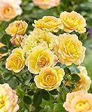 Pianta da esterno roseto ROSA GIALLA PLANTARETTE 'ELIZABETH'