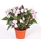 Künstliches fleißiges Lieschen AGENI, rosa, 13 Blüten, 25 cm - Deko Tisch Blume / Kunstblume - artplants