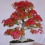 Seme Piante 30Pcs Semi Albero Di Acero Giapponese Acer Palmatum Bonsai Piante Di Giardino Decorazione - Semi Di Albero Di Acero Rosso
