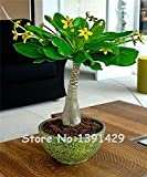 5 Stück Mini Pachira Macrocarpa Samen, Hawaii-Make Money Tree Pflanze, Bonsai Pot Indoor Blumen Pflanzensamen,