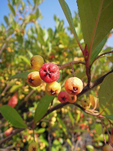 Apfelbeere Brilliant 40-60 cm Strauch für Sonne-Halbschatten Heckenpflanze schwarze Früchte Gartenpflanze winterhart 1 Pflanze im Topf