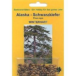Bonsai - 50 Samen von Alaska Schwarzkiefer, Pinus nigra, 90064