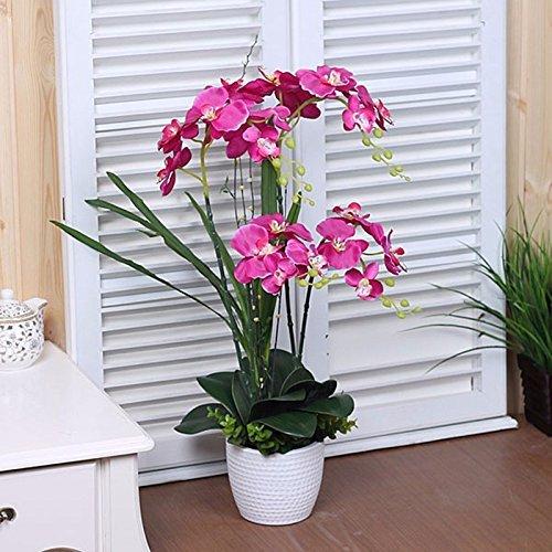Schmetterlingsorchidee SchmetterlingsOrchidee mit