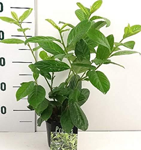 Kirschlorbeer Heckenpflanze