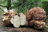 Portal Cool 10 G Frisch Transylvanian Big White Truffle Myzel Kaufen Pilzmyzel Spores