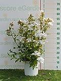 pianta vera da esterno di Plumbago auriculata alba (gelsomino bianco)