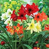 #6: Amaryllis Lilly Flower Bulbs (Pack of 5) By Gate Garden