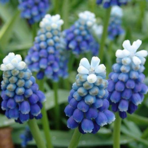 Muscari Blue Spike (Muscari Peppermint)