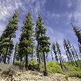 Xianjia Garten - Amerika Rarität Amerikanische Douglasie Baumsamen winterhart mehrjährig, Immergrün Küsten-Douglasie Für Einzelstellung in Garten- und Parkanlagen (5)