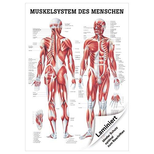 """Anatomische Lehrtafel """"Muskelsystem des Menschen"""", 100x70 cm, laminiert"""