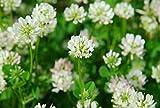 Ball Einsaat Weißklee Begrünung Gründüngung Bee Futter- 5g Samen COAT/IN