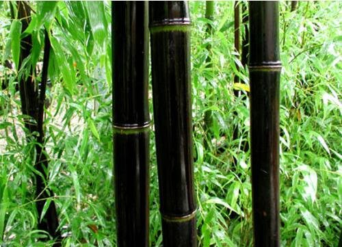 Graines Bonsai Noir Bamboo Seeds Phyllostachys Nigra usine de décoration graines de jardin noir culmed bambou rude - de graines de D23