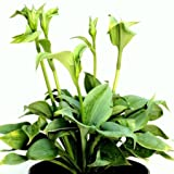 XL Funkie, Hosta Fragrant Blue 7,5L Topf