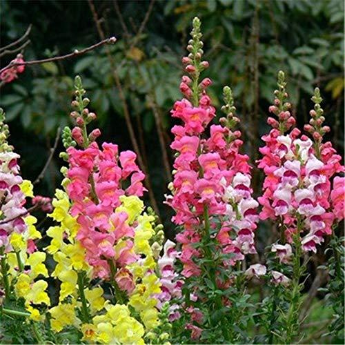 pinkdose 50seeds fiori in vaso semi di bocca di leone in vaso bonsai balcone impianti per fai da te a casa & amp; giardino, facile da coltivare