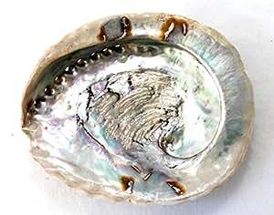 Muscheln Coquille d'ormeau naturelle 16-20 cm