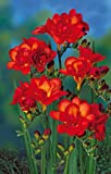 #9: Freesia Double Flower Bulbs Red (8 Bulbs) By Kraft Seeds