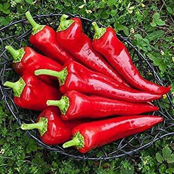 Keimfutter: 100 - Seeds: Stocky Red Roaster Pfeffer Seeds - Italienisch Peppers sind köstlich !!!! Red Roaster