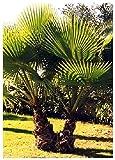 TROPICA - Palma messicana (Washingtonia robusta) - 12 Semi- Palma
