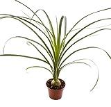 Blumen-Senf Elefantenfuß 25 cm Beaucarnea recurvata / Zimmerpflanze