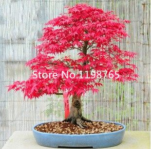 Japanese Red Maple Bonsai (50 Mini Beautiful Japanese Red Maple Bonsai Seeds, DIY Bonsai * FRESH MAPLE SEEDS *)