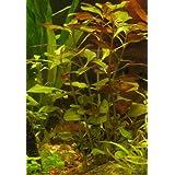 1 Manojo Ludwigia natan - Plantas de acuario