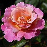André Eve - Rosier Belle De Clermont Eveand - Pot 5 Litres - Couleur : Rose