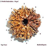 9 Mukhi Rudraksha / Nine Face Rudraksh - Nepal - Lab Certified