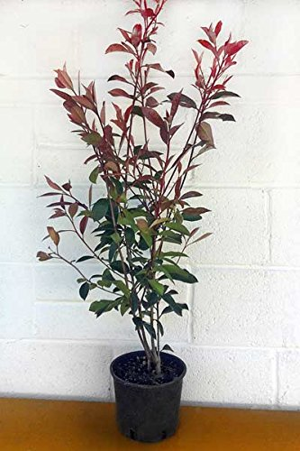 photinia-x-fraseri-red-robin-christmas-berry-3l-pot-80-100cm-high-exc-pot
