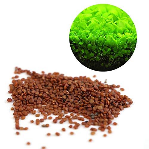 semi delle piante acquatiche hemianthus callitrichoides - mini foglie facile da coltivare decorazione per il serbatoio di pesce aquarium pond (taglia : s)